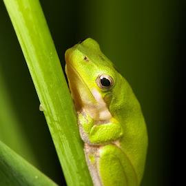 Concerned Frog by Andrew Rock - Animals Amphibians ( ischnura heterosticta, litoria fallax,  )