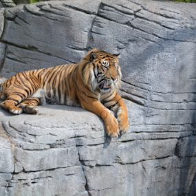 Resting tiger by Steen Hovmand Lassen - Animals Lions, Tigers & Big Cats ( carnivore, cat, tiger, stribes, mammal )