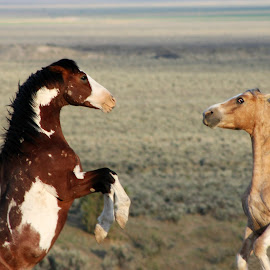 Unrest on the Range by Kathy Tellechea - Animals Horses ( sagebrush, wild, mustangs, horses, males, pintos, fighting, paints, rearing )