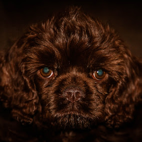 Ziva by Christine Weaver-Cimala - Animals - Dogs Portraits ( chocolate, cocker spaniel, puppy, dog, portrait, animal, cocker,  )