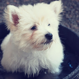 Cooper by Courtney Lass - Animals - Dogs Puppies ( playing, water, bowl, westie, puppy )