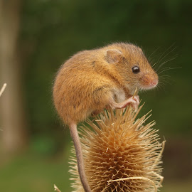 Thistle Harvest Mouse by Garry Chisholm - Animals Other Mammals ( garry chisholm, mouse, nature, wildlife, harvest, rodent )