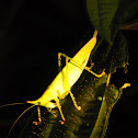 cone headed katydid
