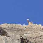 Aoudad, Barbary Sheep, Berberisco
