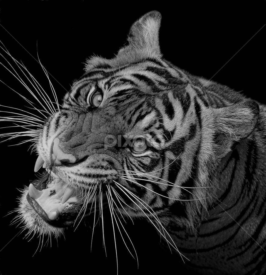 The Predator... by Ubayoedin As Syam - Black & White Animals