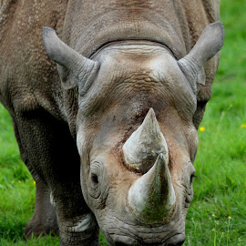 Rhino by Ralph Harvey - Animals Other Mammals ( wildlife, ralph harvey, rhino, longleat, animal )