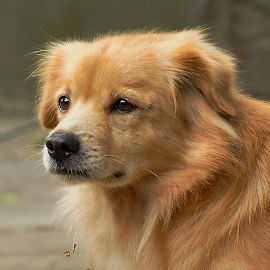by Cacang Effendi - Animals - Dogs Portraits ( cattery, dogs, chandra, puppy, animal )