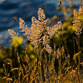 Beach Grass at Sunset by Ken McDougal - Nature Up Close Leaves & Grasses ( sunsets, beach grass, florence oregon, north jetty oregon )