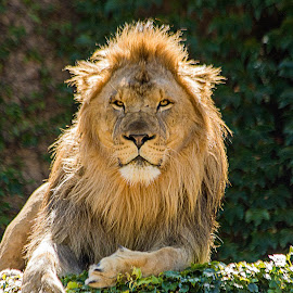 Lounging Lion by Sue Matsunaga - Novices Only Wildlife