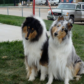 Sisters by Karin Bennett - Animals - Dogs Portraits ( littermates, dogs, collies )
