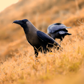 Crow by Ashish Singla - Animals Birds (  )