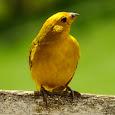 Brazilian Birds - Aves Brasileiras