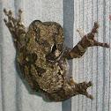 Cope's Grey Treefrog ~ Grey Treefrog