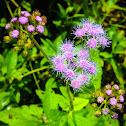 Blue Mist Flower