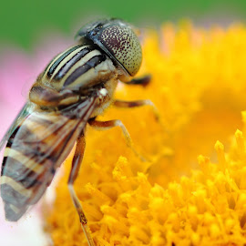 The Fly by Satish Kashyap - Novices Only Macro ( novice, fly, macro photography, amateur, flower )
