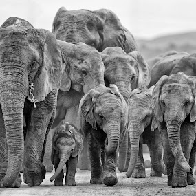 Elephant Family Group by Michael Price - Black & White Animals ( group of elephants, baby elephant, elephant, elephant family, size of elephants )