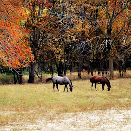 Prairie Grazing by Tricia Scott - Landscapes Prairies, Meadows & Fields ( farm, pasture, horses, grazing, autumn, grass, foliage, fall, graze, meadow, trees )
