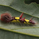 Morpho caterpillar
