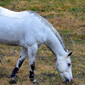 Half Horse by Ed Hanson - Animals Horses ( grass, horse, white, eating, animels )