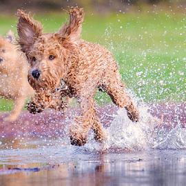 yahoo by Michael  M Sweeney - Animals - Dogs Running ( joy, play, puppy, michael m sweeney, run, dog )