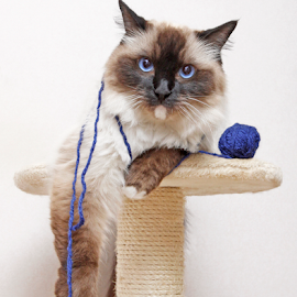 Boring... by Mia Ikonen - Animals - Cats Portraits ( ragdoll, bored, funny, finland, ball of yarn )