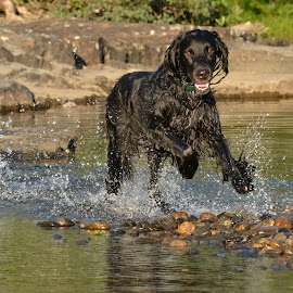apport by Kristin Smestad - Animals - Dogs Playing ( huntingdog, throw stick, bath, setter, dog )