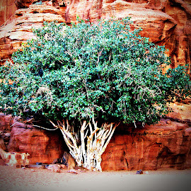 Wild Fig by Tamsin Carlisle - Nature Up Close Trees & Bushes ( desert, trunk, tree, jordan, green, wadi, fig tree, rock, wadi rum, leaves, branches,  )