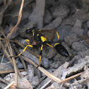 Yellow and black mud dauber