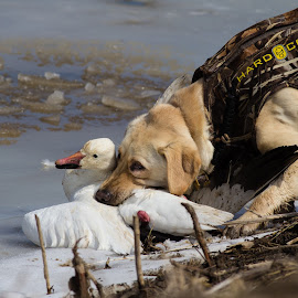 Off the Ice  by Gretchen Steele - Animals - Dogs Running ( retrievers, hunting dogs, yellow labrador retriever, animals, dogs, working dogs, hunting, dogs with game, waterfowl hunting,  )
