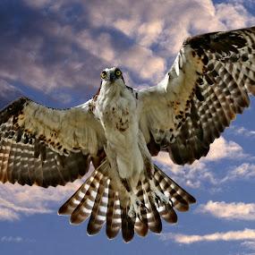 What do you think of these wings pal? by Sandy Scott - Animals Birds ( birds of prey, osprey in flight, fishing birds, raptor in flight, florida birds, raptor, birds, dramatic bird shot, osprey, , bird, fly, flight )