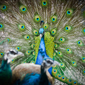 Peacock by Christian Tiboldi - Animals Birds ( colors, beautiful, colorfull, close up, portrait, peacock,  )