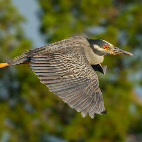 Yellow Crowned Night Heron by Herb Houghton - Animals Birds ( www.herbhoughton.com )