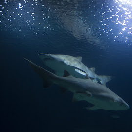 Sharks by Davide Sabatini - Animals Sea Creatures ( sub, sea, shark, abisso )