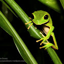 Bolivian monkey frog