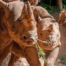 Mommy & Baby by Laura Johnston - Animals Other Mammals ( zoo, rhino )