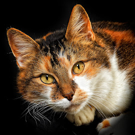 Whiskers in a Twist by John Phielix - Animals - Cats Portraits ( cat, whiskers, close, eyes, animal,  )