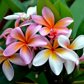 Pink Frangipani 19 by Mark Zouroudis - Nature Up Close Flowers - 2011-2013 ( tree, frangipani, pink, flowers, flower, scented,  )