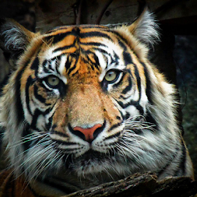 Sumatra Tiger by Nyoto Nugroho Poospo - Animals Lions, Tigers & Big Cats