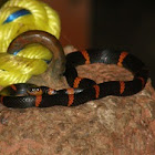 Cope's False (Halloween) Coral Snake