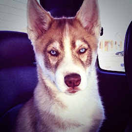 Thor the Husky by Ashley Pruitt - Animals - Dogs Portraits ( lips, husky, puppy, dog, eyes )