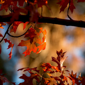 Colors of Autumn by M Knight - Nature Up Close Leaves & Grasses ( tree, color, autumn, fall, trees, leaf, leaves, bokeh, branches,  )