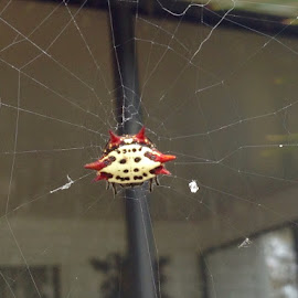 Star Orb Weaver by Michael Armstrong - Novices Only Macro (  )