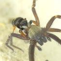 Jumping spider attacks