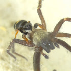 Jumping spider attacks