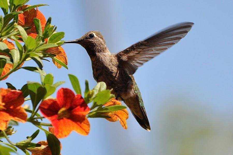 Sweet Nectar  by Ed Hanson - Animals Birds ( bird, wings, in-flight, flowers )
