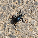 Tay meadows tidbit - blister beetle