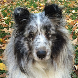 Fall Sheltie by Stephanie Parmley Givens - Animals - Dogs Portraits