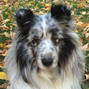 Fall Sheltie by Stephanie Parmley Givens - Animals - Dogs Portraits (  )