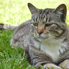 16 and going strong by Lindsey Rodgers - Animals - Cats Portraits ( cat, pet, feline, tabby, animal,  )