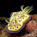 Kuni's Nudibranch